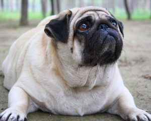 helping your dog lose weight The Royal treatment