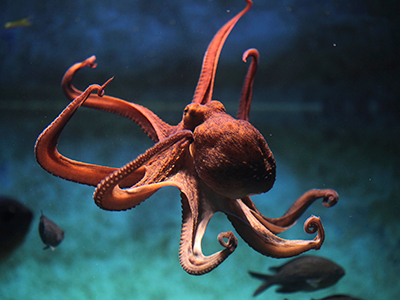 world octopus day, soul of an octopus, national book award longlist, sy montgomery